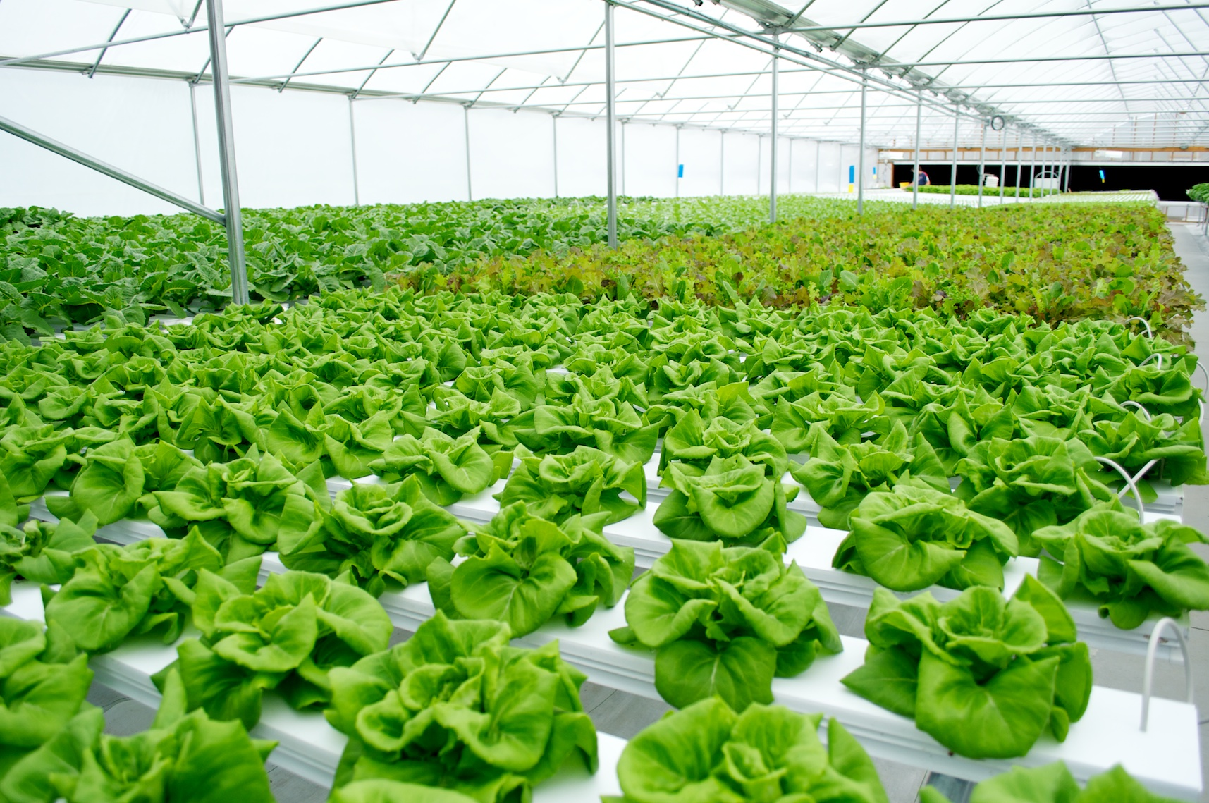 Lettuce Use Hydroponics Addressing Drought In Worcester By