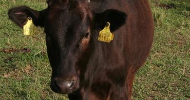 日本産牛肉のタイ向け輸出制限が撤廃、輸出拡大へ期待