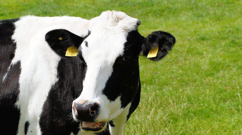 みずほ銀行ら、乳牛による「和牛...